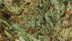 vignette de la galerie photo hd de la california kush de medical nova seeds