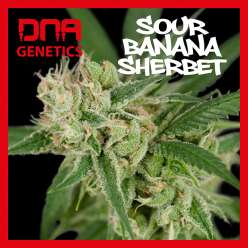 SOUR BANANA SHERBET DNA GENETICS