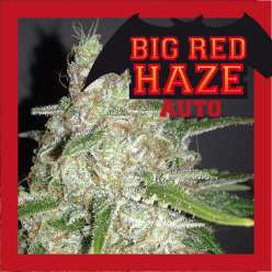 BIG RED HAZE AUTO