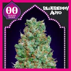 AUTO BLUEBERRY 00 SEEDS