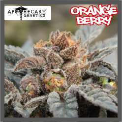 ORANGE BERRY - Regular