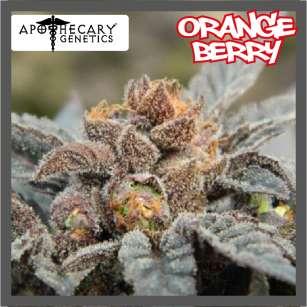 ORANGE BERRY - Regular