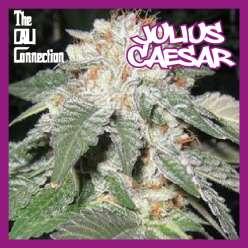 JULIUS CAESAR - Regular