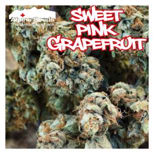 SWEET PINK GRAPEFRUIT - Regular