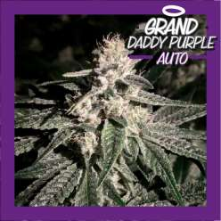 GRAND DADDY PURPLE AUTO