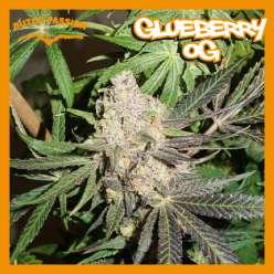 GLUEBERRY OG