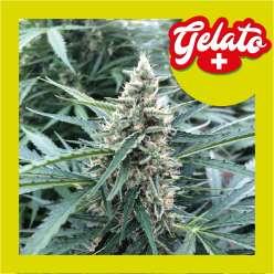 GELATO +