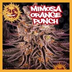 MIMOSA X ORANGE PUNCH